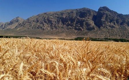 برداشت خوشههای طلایی گندم از مزارع پاسارگاد