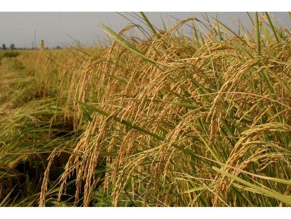 خوشه دهی 95 درصدی برنج در محمودآباد/ تولید 80 هزار تنی