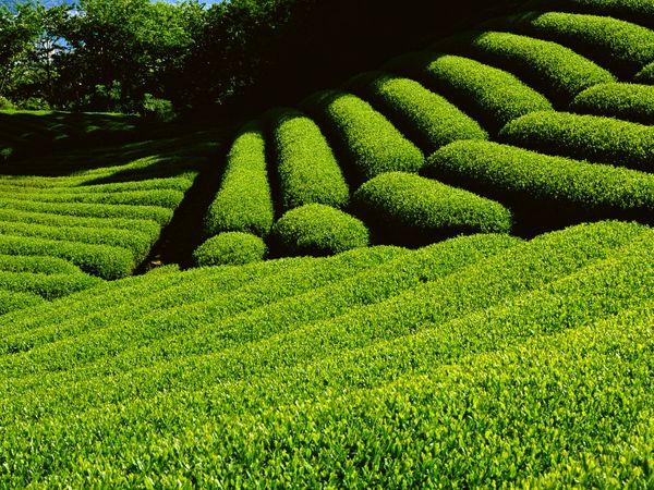 آغاز خرید تضمینی برگ سبز چای از اردیبهشت ماه سال جاری