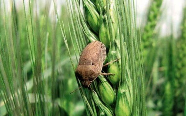 برنامهریزی برای ردیابی و کنترل آفات و بیماریهای گندم  در شهرستان ارزوئیه
