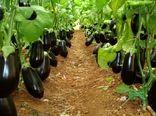 آغاز برداشت بادمجان گلخانهای در شهرستان رودان