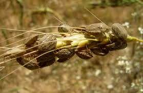 مبارزه با آفت سن گندم در مزارع خراسان رضوی