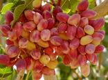 تولید سالانه ۱۲ میلیون اصله نهال پسته در مهریز