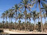 ۱۶۴ هزار تن محصول از نخلهای استان بوشهر برداشت شد