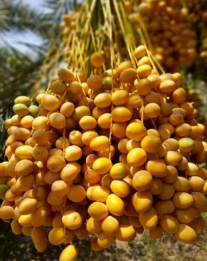 آغاز برداشت خارک؛ نخستین میوه نخلستان های استان بوشهر