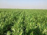 سال آینده میتوانیم بذر کنجد کشور را تامین کنیم
