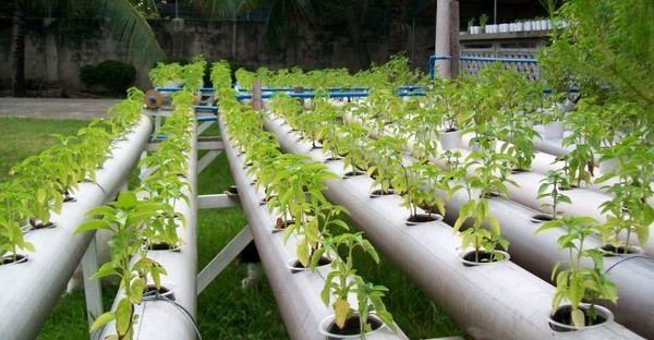 عملکرد گلخانههای هیدروپونیک 15 تا 20 برابر فضای باز است